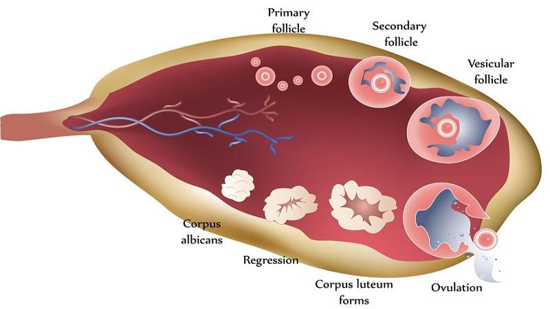 درمان دارویی برای ناباروری با تحریک تخمک گذاری